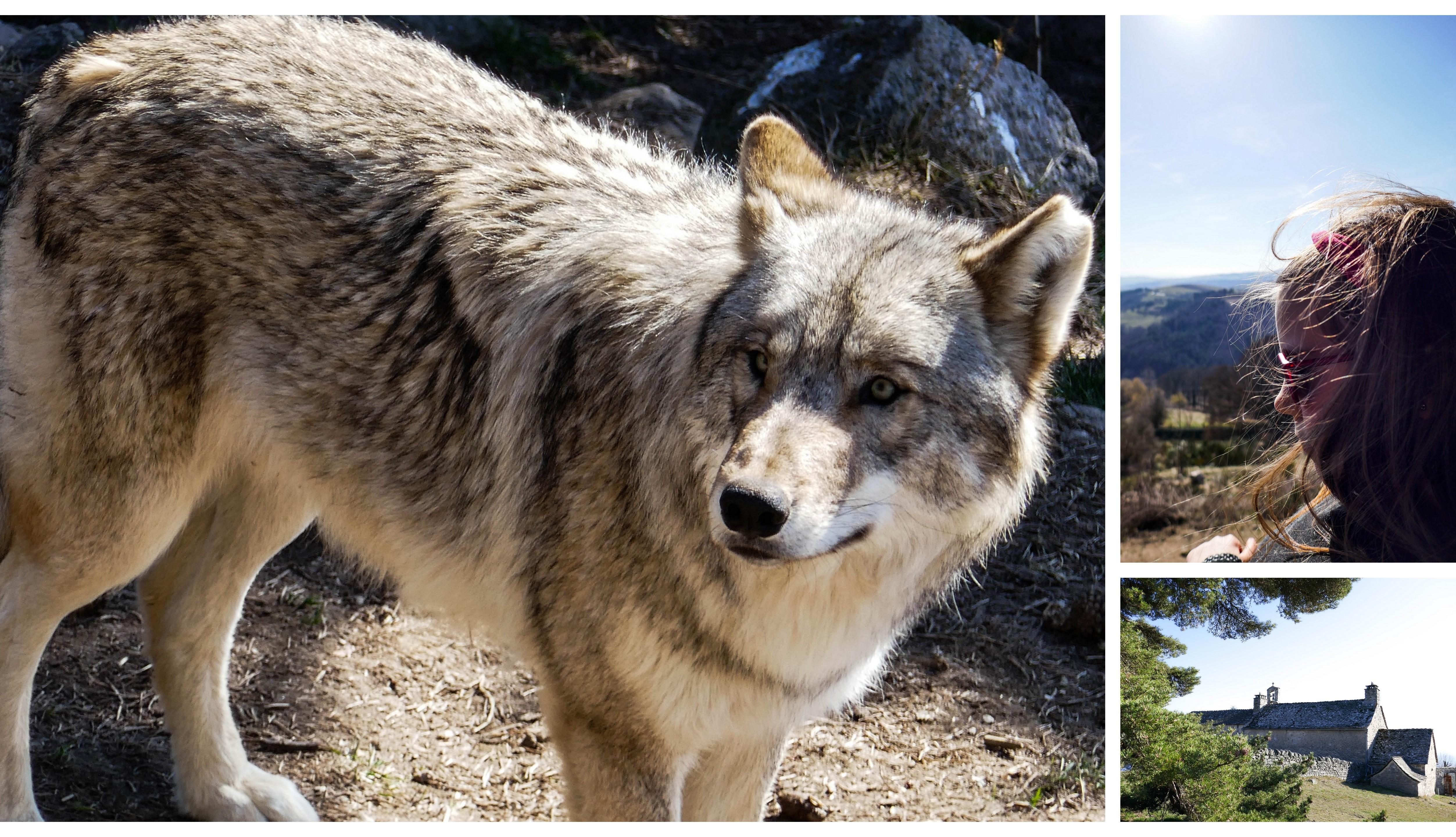 les loups du Gévaudan - Lozère Tourisme - Parc - Lozère - Blog famille
