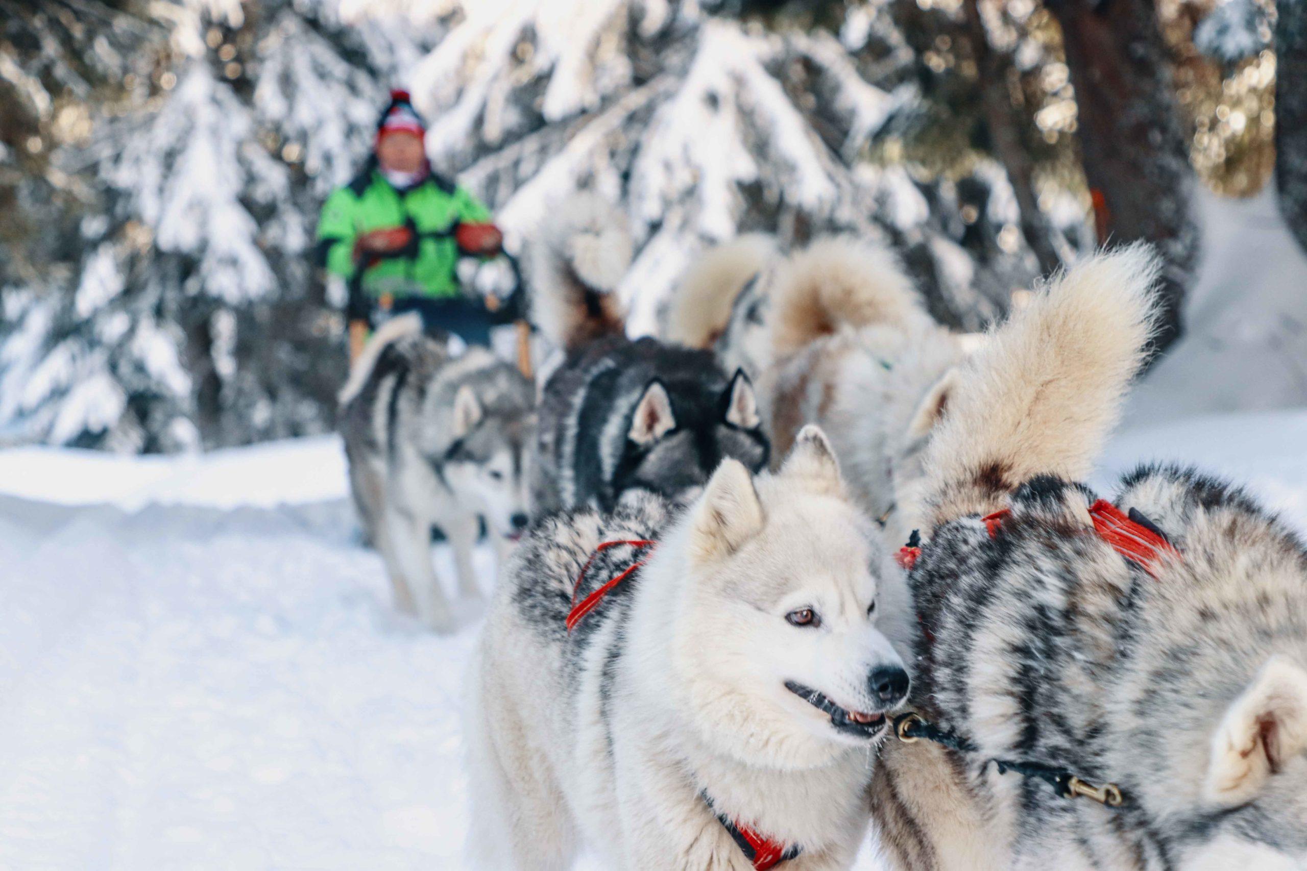 balade en chien de traineau Praz de Lys - Sommand - team Coffre
