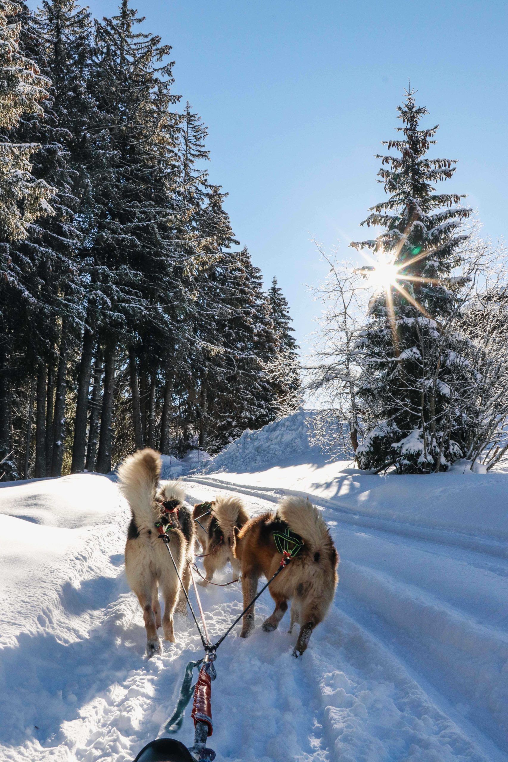 chien de traineau Praz de Lys